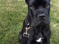 STONEGARD CANE CORSO ( where you will get a- head )