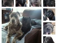 AKC Cane Corso Puppies Available $1500. Payment