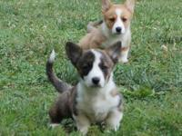 AKC Registered Cardigan Welsh Corgi Pups offered.