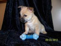 AKC Carin Terriers Bailey has 3 boys and 2 girls that