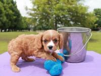 Alfie is a small cavalier with a big personality. He is