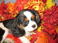 AKC Cavalier King Charles puppies , 2 Blenheim boys