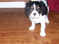The last of the litter AKC Cavalier Female, tri color,