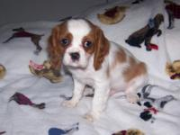 AKC Cavalier King Charles Blenheim male 10 weeks old