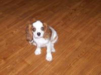 AKC Cavalier King Charles Blenheim male super sweet has