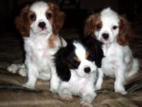 2 AKC Registered Males Born 7/21. The black and white