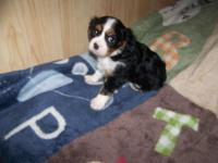 AKC Cavalier King Charles boys ready for their forever