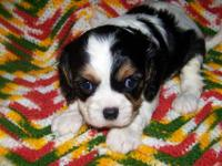 AKC Cavalier King Charles puppies, tri and blenheim,