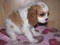 AKC Cavalier King Charles puppies ready to go 8 weeks