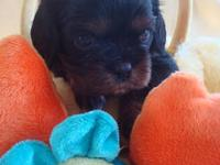 I have a litter of AKC registerable Cavalier King