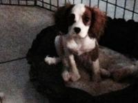 Akc male Blenheim Cavalier King Charles Spaniel male
