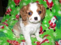 AKC Cavalier King Charles blenheim, and tri colors,