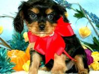 Cole is a four-month-old Black and Tan Cavalier. He is