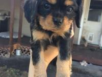 AKC Cavalier King Charles Spaniel female $1500 Just