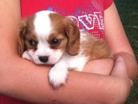 Our AKC cavaliers are beautiful tri-colors and