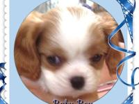 Absolutely beautiful Blenheim AKC Cavalier King Charles