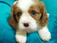 - 2 Beautiful males available (AKC papers included) -