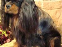 AKC Cavalier King Charles Spaniels.Champion lines.