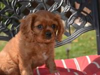 Male Ruby AKC Cavalier King Charles Spaniel with
