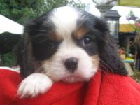 AKC Cavalier King Charles Spaniels Puppies available