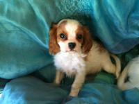 Champion Sired AKC Cavalier King Charles Spaniels. 2