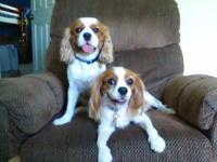 I currently have 2 male Cavalier King Charles Spaniel