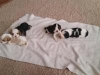 I have a litter of 5 puppies. 1 Blenheim female, 1