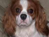 AKC Cavalier King Charles male blenheim color 13 months