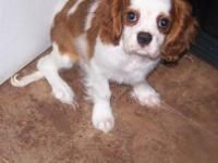 AKC Cavalier King Charles male 16 weeks old Blenheim