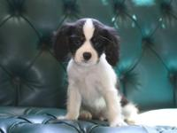 2 AKC Cavalier King Charles puppies for sale. Both are
