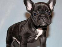 Super cute male French Bulldog puppy Toro is waiting