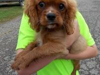 Ruby Cavalier Murphy is reproduced from AKC Champion