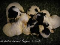 We had six elegant and quality parti Cocker puppies, 5