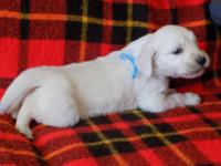 AKC, 100% English Style puppies ARE READY for their