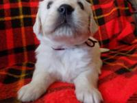AKC, Full British Cream puppies READY for Valentines