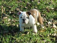 Searching for a quality English Bulldog? Look no