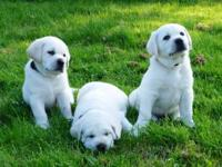 AKC CH White English Labrador Retriever litter born Oct