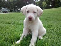This is a female champagne Labrador 6 weeks old! Ready