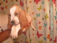 Akc champion blood line basset hound puppies and big
