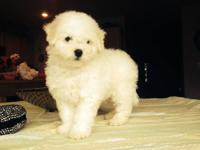 AKC Bichon Frise Pure White Puppies! Bichons are