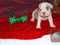 I have 2 female english bulldog puppies with full akc