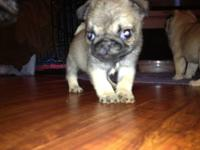 I have a fawn 2 year old female pug named Paley. She is