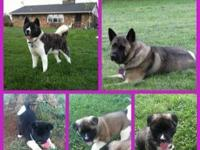 AKC Akita pup - Champion Bloodlines 1 female left!!!