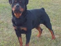 AKC Black Labrador Pups. Born 10/9/13. 2 females, 2
