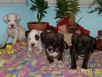 We currently have 5 beautiful AKC boxer puppies. They