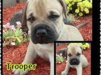 AKC Champion bloodline BULLMASTIFF Puppies! We have a