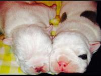 AKC registered English Bulldog puppies. Pups come from