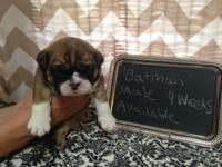 We currently have four male English Bulldog puppies