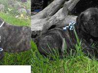 4 AKC English Mastiff (Brindle) males still available.