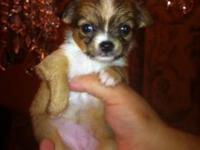 AKC PEDIGREE - BEVERLY HILL CHIHUAHUA, DAME & SIRE ON